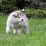 Щенок Аляскинского маламута. Мальчик 2