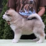 Щенок Аляскинского маламута. Мальчик 3