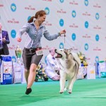 "Father: BIS WHITE CHOCOLATE Sausimayok PN: Genotype N/N (Free) HD-A, ED-0 BIS (The winner of the international exhibition FCI-CACIB ""GOLDEN GATE 2015"") СH Ukraine Show Champion UKU Best of Breed"