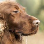 Слюни у собаки
