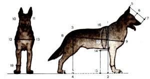 Измерение собаки, точки промеров