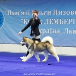 JEW'18 CHESVIK TOP ABSOLUTELY IN LOVE - 2*CAC, 2*CACIB, 2*BOB, BIG-1, BIS-3!